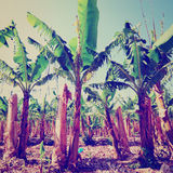Banana Plantation Stock Images
