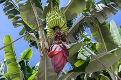 Banana plantation at La Palma, Canary Islands Royalty Free Stock Photography