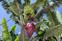 Banana plantation at La Palma, Canary Islands Royalty Free Stock Photography