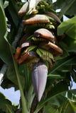 Banana Plantation, La Palma, Canary Islands, Spain. Banana Plantation on La Palma, Canary Islands. The numerous banana plantations marking the scenery of the stock photos