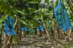 Banana plantation in Martinique Stock Image