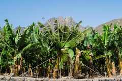 Banana plantation in the mountains, Tenerife, canary islands Stock Photos