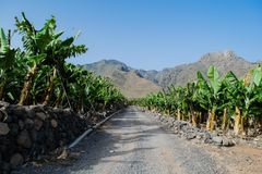 Banana plantation in the mountains, Tenerife, canary islands Stock Image