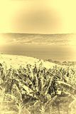 Banana Plantation near Lake Tiberias Stock Image