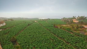 Banana plantation near the ocean. Aerial view stock video