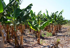 Banana plantation Royalty Free Stock Photography
