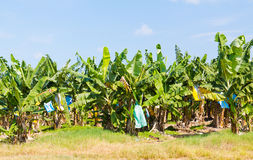 Banana plantation North Queensland Royalty Free Stock Image