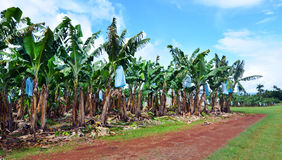 Banana plantation in Queensland Australia Stock Photos