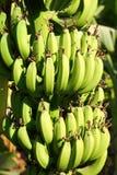 Banana plantation in sun Royalty Free Stock Photography