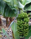 Banana plantation On Tenerife. Canary Islands. Spain. Stock Photo