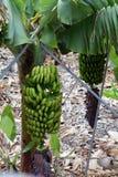 Banana plantation On Tenerife. Canary Islands. Spain. Stock Images