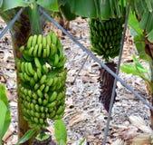 Banana plantation On Tenerife. Canary Islands. Spain. Royalty Free Stock Photography