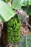 Banana plantation On Tenerife. Canary Islands. Spain. Royalty Free Stock Photos