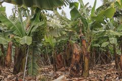 Banana plantation in Tenerife, Canary Islands at winter season stock photography