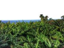 Banana plantation on Tenerife Stock Photos