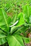 A banana plantation Stock Photos