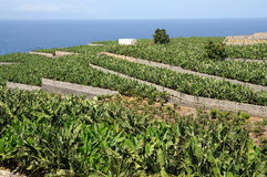 Banana plantation, Tenerife Spain Royalty Free Stock Photos