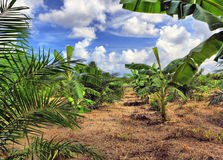 Banana plantation, Thailand Stock Photo
