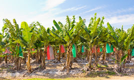 Banana plantation, topdressed Stock Photos