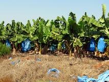 Banana plantation Stock Photography