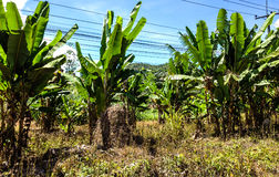 Banana plantation Stock Photos