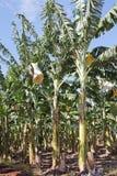 Banana plantation 1749 Royalty Free Stock Photography