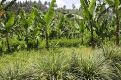 Bananas in the uplands undercropped by lemon grasses. Royalty Free Stock Photos