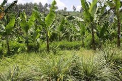 Bananas in the uplands undercropped by lemon grasses. Stock Image