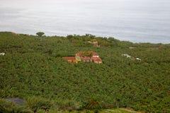 Banana plantation Stock Images