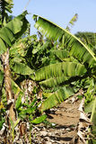 Banana plantation. In west Africa Stock Image