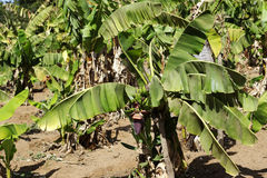 Banana plantation. In west Africa royalty free stock photography