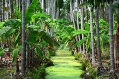 Banana plantations. Betel Nuts plantation & Banana plantation Royalty Free Stock Images
