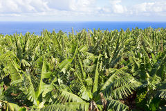 Banana plantations. At the edge of the ocean, in El Rincon, Tenerife, Canary Islands, Spain Royalty Free Stock Images