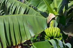 Banana plantations. At the edge of the ocean, in El Rincon, Tenerife, Canary Islands, Spain Stock Images