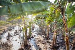Banana plantations Royalty Free Stock Image