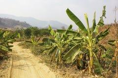 Banana plantations in the mountains. Banana tree mountain-Banana plantations in the mountains Stock Photography
