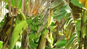 Banana plantations stock video footage