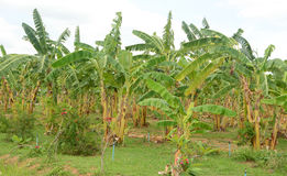 Banana plantations Stock Photo