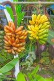 Banana plants. In the garden Stock Photo
