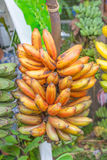 Banana plants Stock Photos