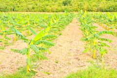 Banana plants on a farm Stock Images