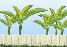 Banana plants and a fence Royalty Free Stock Images