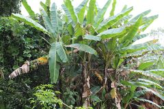The Banana plants from manipur Stock Photography