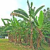 Banana plants in Singapore Stock Photos