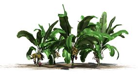 Banana plants on white background Royalty Free Stock Photography