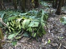 Banana pronta para ser enviado, agricultura, negócio foto de stock