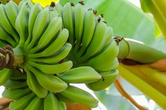 Banana raw with a bunch on the tree.  royalty free stock image