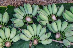 Banana - Raw green banana on Green banana leaves, Many useful fruits to the body royalty free stock images