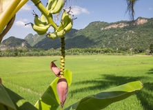 Banana and Rice fields Royalty Free Stock Photography