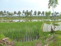 Banana & rise plantation. Beautiful view of banana and rise plantation in early morning stock image